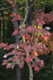 Autumn dogwood in my backyard